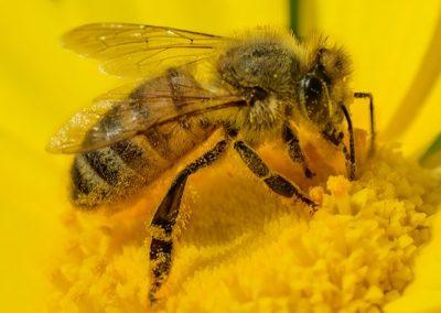 Albina pe floarea soarelui